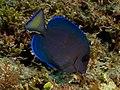 Acanthrus coeruleus (Blue Tang).jpg