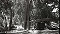 Accident at Zion Lodge; 50 foot long, 12 inch diameter tree limb fell onto Chevrolet sedan. ; ZION Museum and Archives Image 107 (b4a7285b8b6f46e587c7ef484efd07d6).jpg