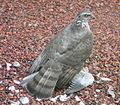 Accipiter nisus female.jpg