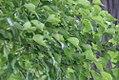Acer buergeranum 4zz.jpg