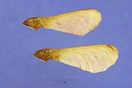 Acer ginnala seeds.jpg