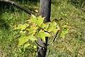 Acer mono foliage.JPG