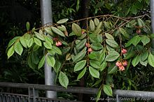 Aceratium ferrugineum (Rusty Carabeen)- flowering tree.jpg