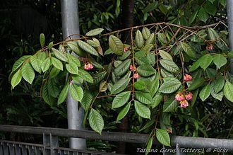 Aceratium ferrugineum - Image: Aceratium ferrugineum (Rusty Carabeen) flowering tree