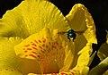 Achira (Canna indica) - Flickr - Alejandro Bayer (11).jpg