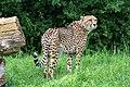 Acinonyx jubatus - Serengeti-Park Hodenhagen 2017 02.jpg