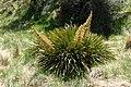 Aciphylla aurea kz12.jpg