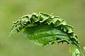 Aculops macrotrichus gall on Carpinus betulus (31552671330).jpg