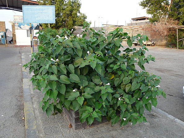 Aden shrub at port gate 11 Feb 2010.JPG