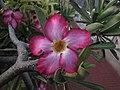 Adenium obesum (Forssk.) Roem. & Schult. or Desert Rose.jpg