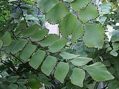 Adiantum peruvianum a1.jpg