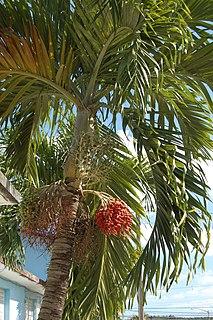 <i>Adonidia merrillii</i> species of plant