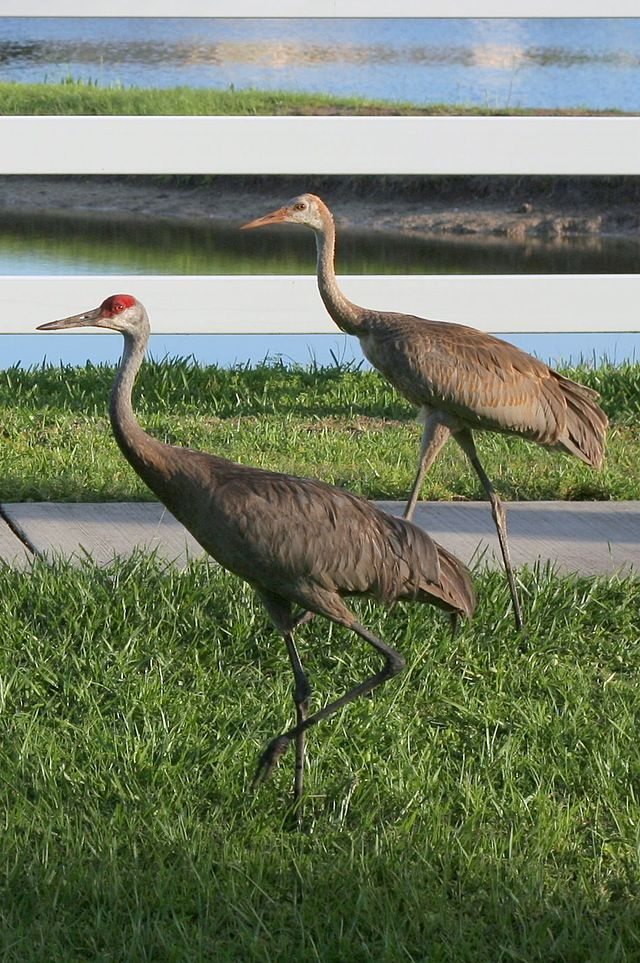 Adult and juvenile Grus canadensis 2.jpg