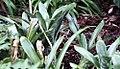 Aechmea fasciata var. purpurea 1zz.jpg