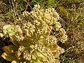 Aeonium ciliatum (El Paso) 04 ies.jpg