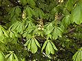 Aesculus hippocastanum(01).jpg