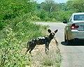 African Wild Dog (Lycaon pictus) (51275874116).jpg