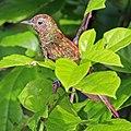 African emerald cuckoo (Chrysococcyx cupreus) female.jpg