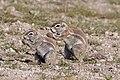African ground squirrel (Xerus inauris).jpg