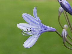 Agapanthus cultivar. Zaailing van Agapanthus Lilac Flash. (d.j.b.) 04.jpg