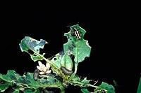 Agasicles hygrophila 4723004.jpg