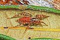 Agenelid Funnel Weaver - Barronopsis species? - Archbold Biological Station, Venus, Florida.jpg