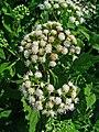 Ageratina aromatica 002.jpg