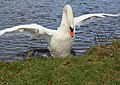 Aggressive swan insists we leave his patch - geograph.org.uk - 1700370.jpg