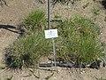 Agropyron cristatum - Botanischer Garten München-Nymphenburg - DSC07871.JPG