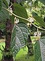 Alangium platanifolium Alangium platanolistne 2009-07-20 03.jpg