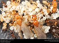 Alate ant queens with brood (Pheidole dentata) (42171521392).jpg