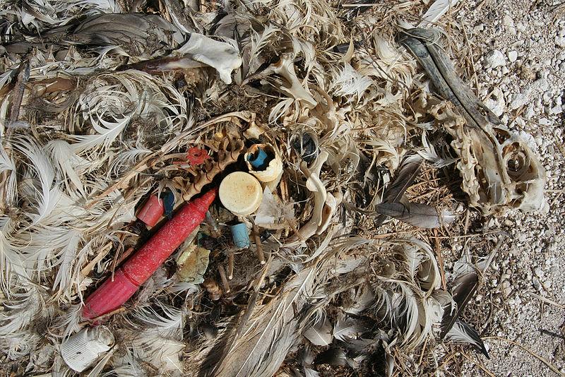 File:Albatross chick plastic.jpg