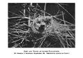 Alder Flycatcher (Empidonax alnorum) nest.png