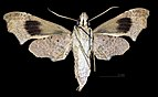 Aleuron neglectum MHNT CUT 2010 0 144 El Dorado, Venezuela female ventral.jpg