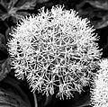 Allium (18819434761).jpg