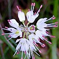 Allium carinatum inflorescence (14).jpg