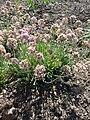 Allium senescens ssp. montanum (Alliaceae) plant.JPG
