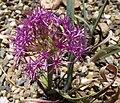 Alliumplatycaule.jpg