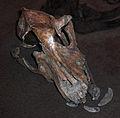 Almeöhundens kranium på Falbygdens museum 4414.jpg