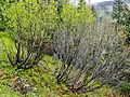 Alnus viridis in Ukrainian Carpathian Mountains in June.JPG