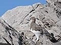 Alpenschneehuhn auf der Totalpe, Lagopus muta 2.JPG