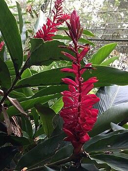 Alpinia flower red.jpg