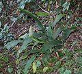 Alpinia japonica (Toshi Island).JPG