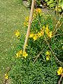 Alstroemeria aurea 'Peruvian lily' (Alstroemeriaceae) plant.JPG