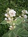 Althaea officinalis 04.JPG