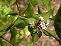 Alyxia orophila.jpg