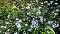 Am Bilstein bei Breungeshain und Busenborn - Blumen am Feldweg.jpg