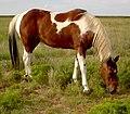 Am Paint Horse.jpg