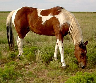 American Paint Horse - A tobiano Paint