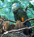 Amazona guildingii-4 (cropped).jpg
